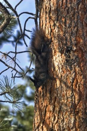 Abert's Squirrel theentiremikey