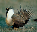 sagegrouse_re