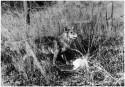 """Coyote"" by Horace S. Poley, ca. 1890 - 1900. Courtesy of Special Collections, Pikes Peak Library District. Image Number: 010-7116."