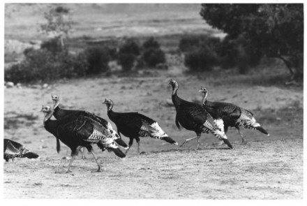 """Wild Turkeys"" by Myron Wood, May 1976. Copyright Pikes Peak Library District, Courtesy of Special Collections. Image Number: 002-1378."