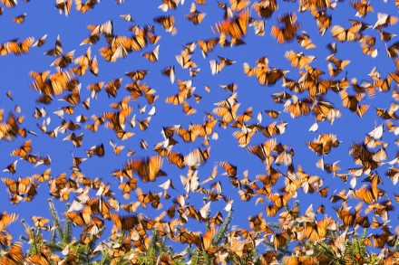 monarch butterfly migration 14