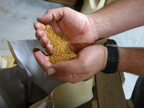 Most of what Colorado Malting Company produces falls into your standard fare: wheat and barley. But Cody has started tapping into specialty grains too like locally grown quinoa and millet, which is essentially bird feed, shown here. (Luke Runyon/Harvest Public Media)