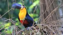 Channel-billed toucans are important seed dispersers in rain forests.