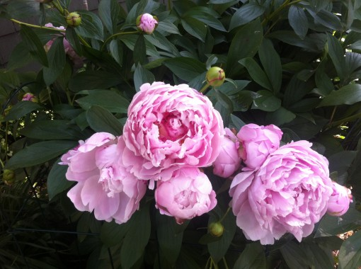 peonies for MD 140